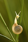 Snail climbing on a stem grass Aube France