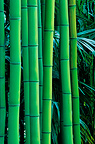 Bamboo stems at the Bambouseraie de Prafrance, France
