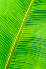 Detail of sheet of Banana tree France