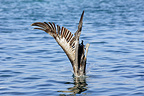 Brown Pelican diving to fish Venezuela