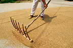 Winnowing of wheat in the street China
