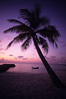 Palm tree on tropical beach at sunset Maldives