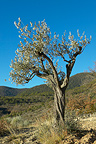 Olive Tree in Provence France