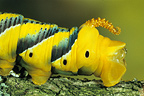 Tail end of the Death's-head Hawk-moth Caterpillar, France