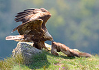 Male Golden eagle dismembering its prey Ari�ge France