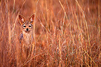 Black-backed Jackal in the tall grasses Nairobi Kenya