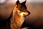 Portrait of Iberian Wolf  Castilla-y-Leon Spain