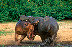 Hippopotamuses fighting, La Gounda Central Africa