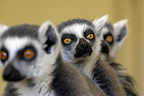Portrait of Ring-tailed lemurs (captive)