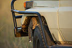 Young 2 months Cheetah under a vehicle Masa� Mara Kenya �