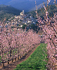 Peach orchard in blossom,  Fenouill�res Eus, France