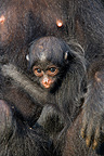 New-born black Spider monkey in the arms of his/her mother, French Guiana