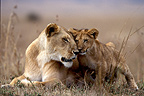 Lioness and lion cub Masaï Mara Kenya