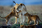 Lioness and lion cubs in savanna Masa� Mara Kenya