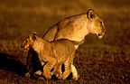 Lioness and lion cub in savanna Masa� Mara Kenya �