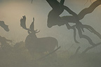 Silhouette of a male Fallow Deer in the fog