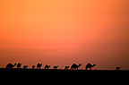 Dromedaries at sunset Saudi Arabia