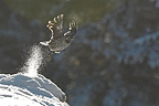 Spotted Nutcracker flying away the Alps France