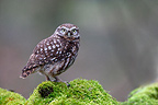 Little owl on a mossy branch Great Britain