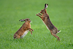 European Hares fighting