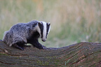 European badger standing on the trunk of a dead tree GB