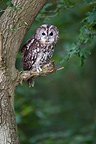 Tawny owl standing on a branch, UK