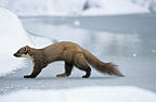 Pine Marten walking carefully on the ice, Europe