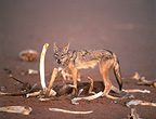 Male golden jackal with the bones of a camel, Sahara
