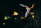 Mouse-eared Bat flying in front of the village of Sisteron, France