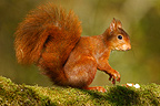 Eurasian red squirrel Doubs France