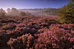 Calluna moor Plain of Chanfroy Forest of Fontainebleau