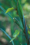 Green tree frog posed on a sheet of reed Switzerland
