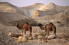 Dromedary in the Desert of Judaea in Israel