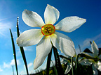 Flower of Poet's Narcissus Aubrac Loz�re France