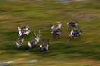 Herd of Reindeer galloping in the tundra Varanger Norway