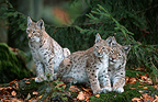Eurasian lynx and young Bayerischerwald Germany