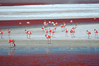 Andean flamingoes on a salty lake Altiplano Bolivia