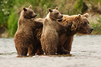 Grizzly female and cubs in salmon spawning ground, Katmai, Alaska, USA