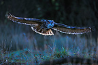Eagle-owl flying Germany