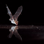 Mouse-eared bat drinking while flying Germany (Mouse-eared bat )