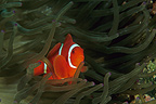 Clownfish in its Sea anemone Indonesia (Clownfish)