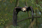Imperial Eagle flying off from a branch in temperate forest (Imperial Eagle)