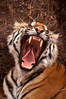Bengal Tiger yawning in underwood Bandhavgarh India (Bengal tiger)