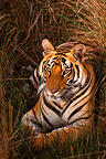 Bengal Tiger at rest in grasses Bandhavgarh India (Bengal tiger)