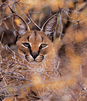 Portrait of Caracal in the brush Samburu NP Kenya (Caracal)