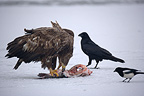 White-tailed Eagle on the ground eating a fish (White-tailed Eagle)