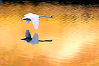 Mute Swan in flight in the light of the autumn France (Mute Swan)