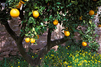 Orange tree in February Olocau Spain