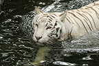 White Bengal Tiger in the water to Singapore (Bengal tiger)