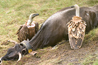 Eurasian griffon vultures around a cow corpse, Ari�ge, France
